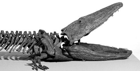 http://www.nhm.ac.uk/resources-rx/images/1017/paracyclotosaurus-davidi_115799_1.jpg