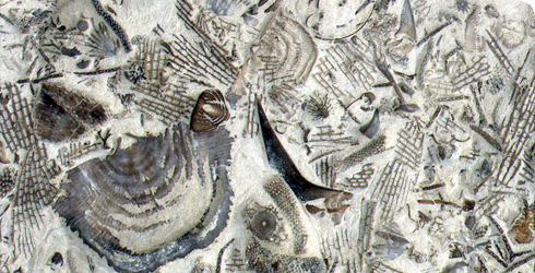 Marine invertebrate fossils from the Silurian Rochester Shale, New York
