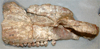 Stegosaur jaw (repaired and re-boxed)