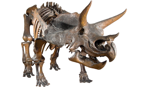 Skeleton of the 3-horned dinosaur Triceratops