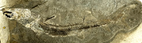Fossil of the extinct shark Wodnika