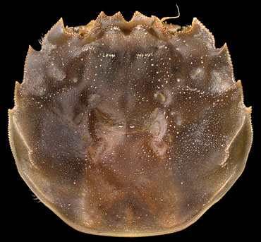 The squarish carapace of a mitten crab