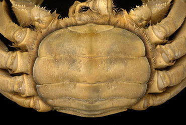 Broad, U-shaped abdomen of an adult female mitten crab, Eriocheir sinensis