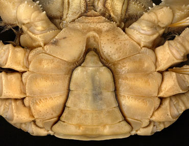 Narrow, V-shaped abdomen of an adult male mitten crab, Eriocheir sinensis