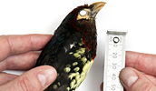 Measuring a yellow-billed barbet specimen.