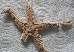 Astropecten starfish