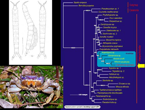 Phylogenetic relationship of semiterrestrial Cancrincolidae - symbionts of landcrabs