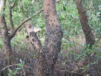 Cerithidea decollata can reach high densities on trunks of Avicennia mangroves in Mozambique.