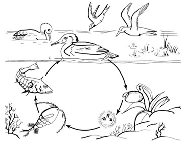 Life cycle of Schistocephalus solidus (after Dubinina, 1980)