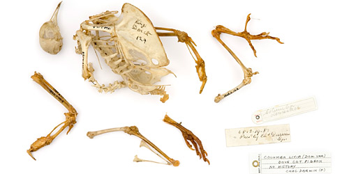 One of Charles Darwin's domestic pigeon skeletons, donated in 1867.