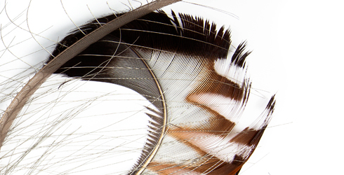 Tail feathers from the superb lyrebird.