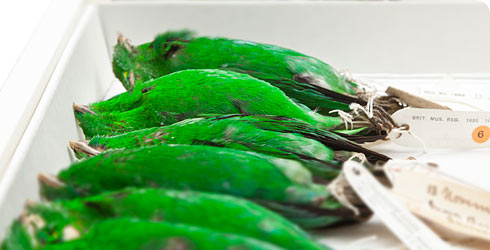 Study skins of green broadbill.