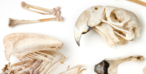 Skeleton of captive scarlet macaw, Ara maca.