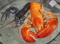 North American lobster on right and European lobster on left