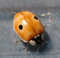 The 2-spot ladybird. It suffered the largest declines as a result of the arrival of the harlequin