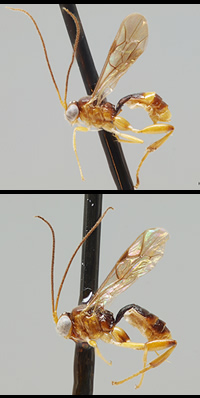 Wasp species in the genus Gnathochorisis - the one on the bottom has a darker abdomen and hind coxa