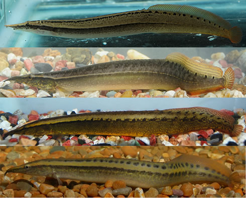 The first images of live individuals of 4 new spiny eels identified by Museum scientist Dr Ralf Brit