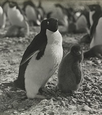 Adélie penguin with its chick. Photo taken by George Levick.