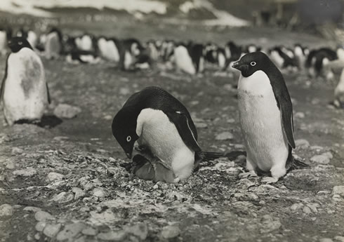 Photo of Adélie penguins at the Cape Adare colony in Antarctica taken by George Levick as part of hi
