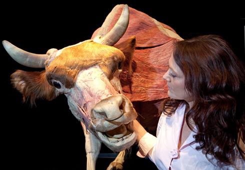 The muscle power of a bull is on display at Animal Inside Out