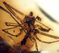Linyphiid spider preserved in amber. Only the third fossil spider to be described from Africa.