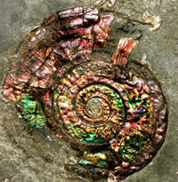 Detail of the jewel-like nacreous ammonite, a 200-million-year-old fossil sea creature