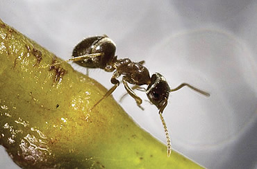The Lasius neglectus ant has been making a rapid advance across Europe and may soon arrive in the UK