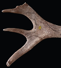 Engraved stylised horse on a reindeer antler from Neschers, France, created by early humans.