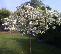 Apple tree in blossom. Red mason bees are important for pollinating apple trees