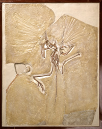 Rare fossil Archaeopteryx, the dino-bird, looked after at the Museum