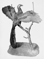 A reconstruction of an Archaeopteryx