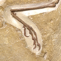 Close up of Museum Archaeopteryx specimen showing the bird characteristic of a reversed perching toe