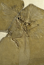 Rare fossil archaeopteryx looked after at the Museum