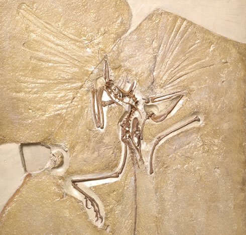Fossil skeleton specimen of Archaeopteryx at the Museum
