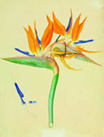 Watercolour of bird of paradise by Franz Bauer, 1818  from Art of Nature book