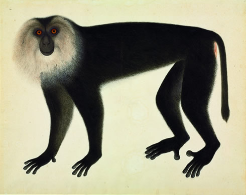 Watercolour of a lion-haired macaque from the John Reeves Collection, 1820s, in the new Museum book