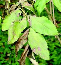 Leaves showing ash disease, which is deadly to young ash trees.