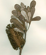 Banksia Integrifolia leaf specimen discovered on Captain Cook's first voyage.