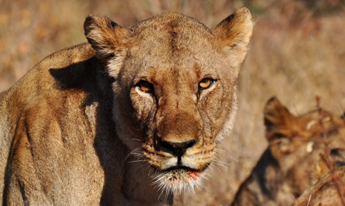 Lion (Panthera leo) in South Africa.