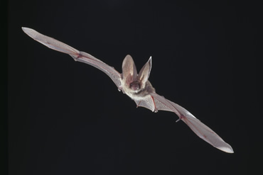 Visit Bat Weekend at the Natural History Museum 25 and 26 July