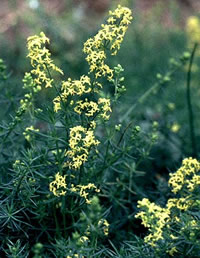 Lady's bedstraw, Galium verum, is a food source for elephant hawkmoth caterpillars