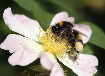 Visit the Bumblebee exhibition at the Natural History Museum at Tring