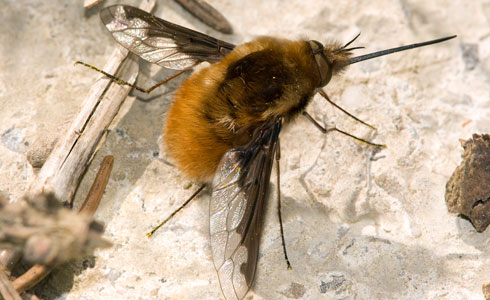 The large bee-fly, Bombylius major, makes its springtime appearance now