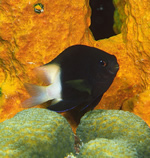 A bicolour damselfish from the Caribbean seas