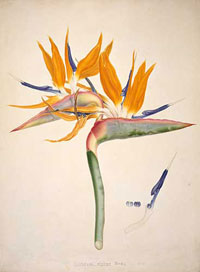 Bird of paradise by Franz Bauer, who was the first paid botanical artist at the Royal Botanic Garden