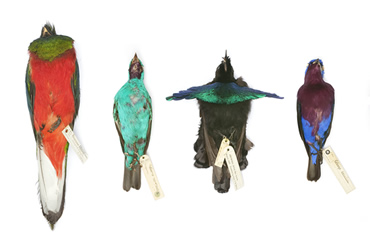 The Museum has been targeted in a theft of tropical birds such as these