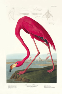 Pink flamingo artwork from Audubon's The Birds of America
