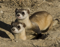 Black-footed ferret, Mustela nigripes,