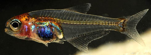 The blue-bellied night wanderer fish is a new species and genus from the Amazon. It is a tiny 17mm l