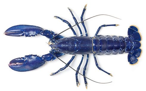Striking electric-blue lobster, rescued at a London fishmarket and sent to the Natural History Museu